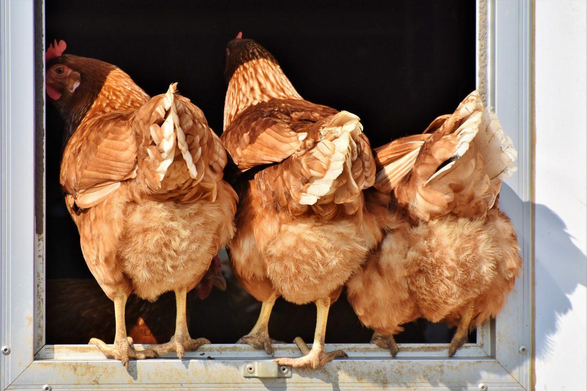 cropped-chicken-3607863_1920.jpg